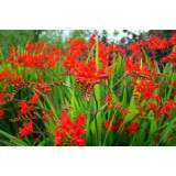 Crocosmia Lucifer 2lt