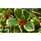 Ilex alt. Golden King 2lt