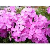 Phlox Mc Daniels Cushion 2lt