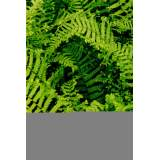 Dryopteris af. Cristata The King 2lt