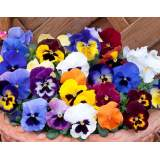 Bedding Pansy 6 pk