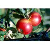Malus Discovery 120-150cm 12lt