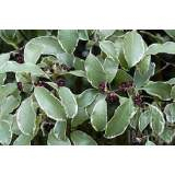 Pittosporum Silver Queen 3lt