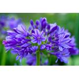 Agapanthus Brilliant Blue 3lt