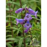 Penstemon Sour Grapes 2lt