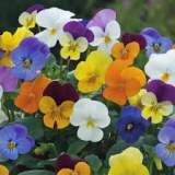 Bedding Viola Mixed 6 pk