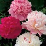 Paeonia mixed 3lt
