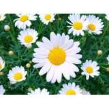 Bedding Marguerite bush 4lt