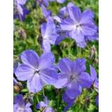 Geranium Johnsons Blue 2lt