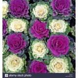 Bedding Ornamental Brassica 10cm