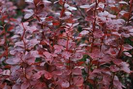 Berberis Red Pillar 3lt