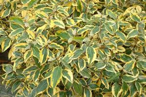 Elaeagnus Gilt Edge 3lt