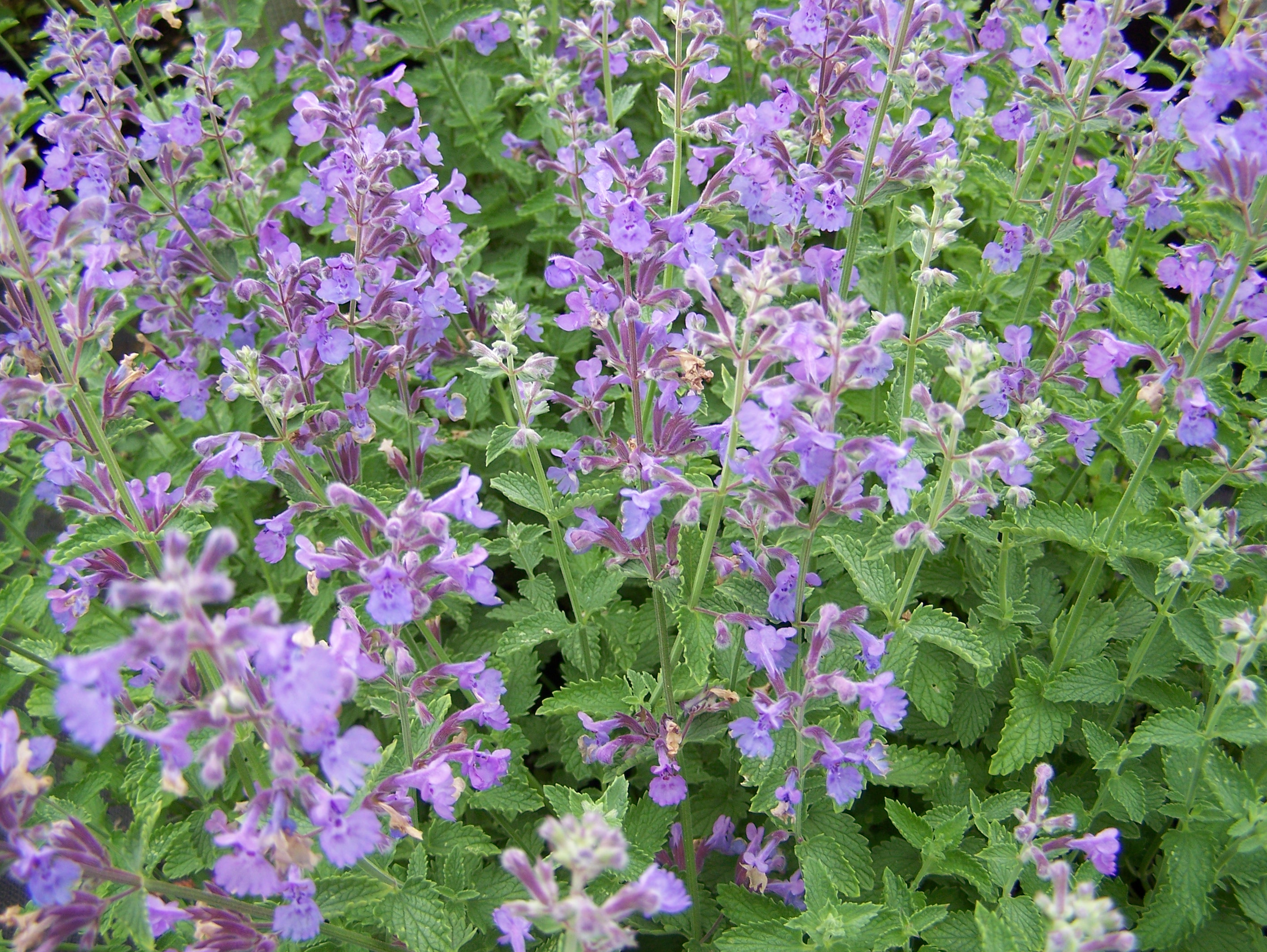 Nepeta Walkers Low 2lt