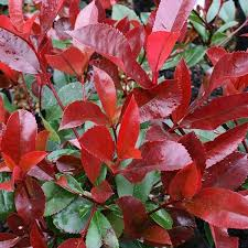 Photinia Red Robin on trellis 15lt
