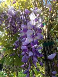 Wisteria in Variety 175-200cm 4lt