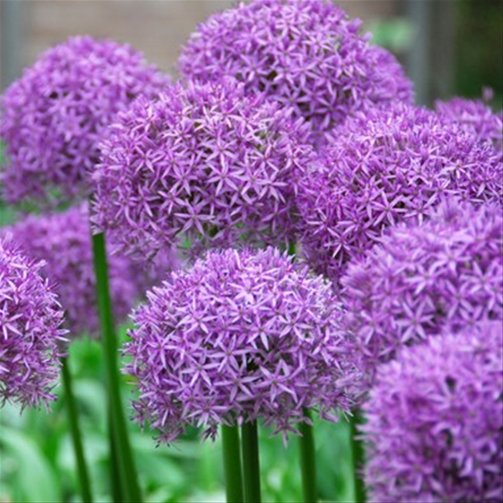 Allium Purple Sensation 3lt