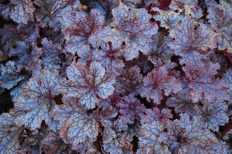 Heuchera Plum Pudding 2lt