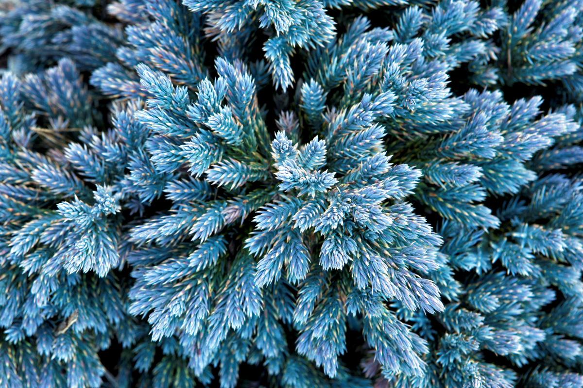 Juniperus Blue Star 2lt