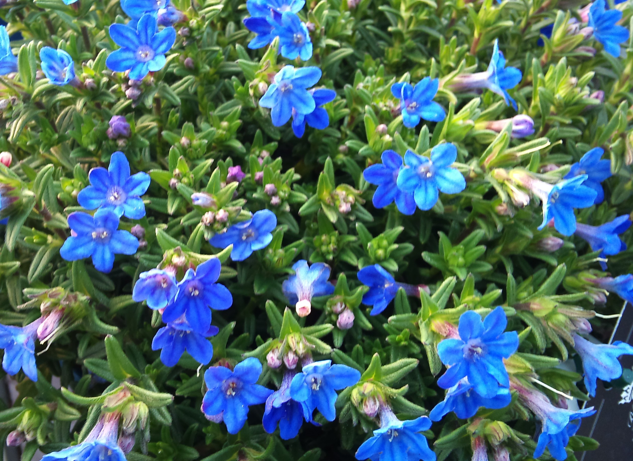 Lithodora Hevenly Blue 2lt
