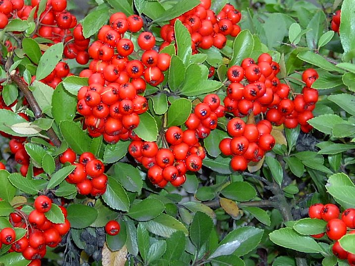 Pyracantha Red Column 2lt